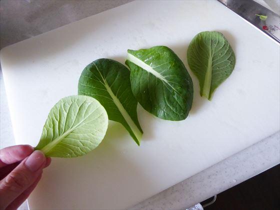 小松菜の葉をチェックしている様子