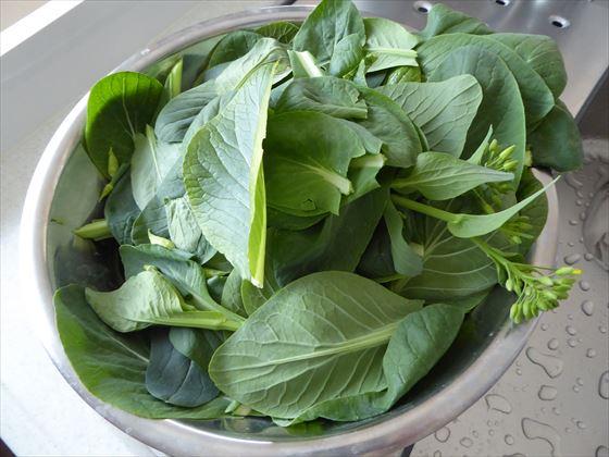 収穫してボウルに入ったリボベジ小松菜