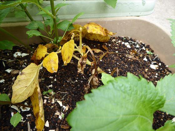 5月20日黄色く枯れてしまった右側のジャガイモ