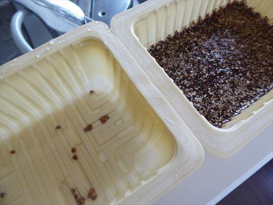 2つの豆腐パックに種を浸している様子