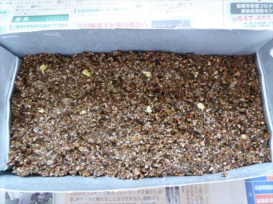 豆乳パックにバーミキュライトと芽が出た種を植えた様子
