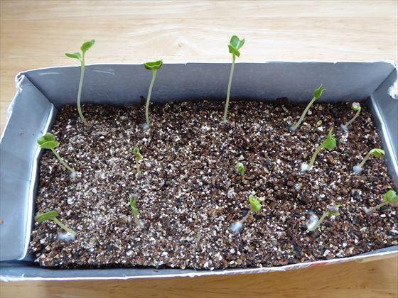 かいわれ大根に似た、伸びた芽