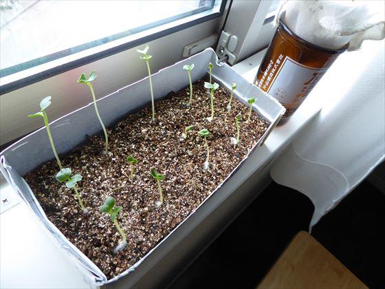 窓辺で徒長してしまっている芽